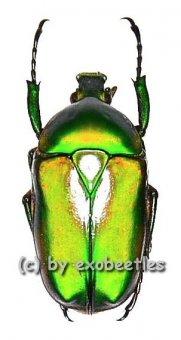 Ingrisma burmanica ( grüne var. )  ( 20 - 29 )
