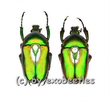 Ingrisma burmanica ( grüne var. )  ( 20 – 29 )