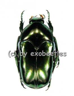 Ischiopsopha aruensis  ( 20 - 29 )