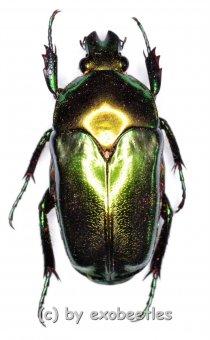 Ischiopsopha ceramensis  ( 20 – 29 )  A2