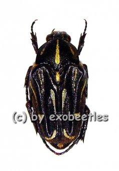 Ixorida ( Mecinonota ) luctuosa  ( 15 - 19 )