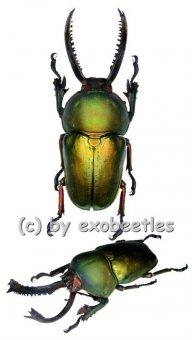 Lamprima adolphinae ( grüne var. )  ( 45 - 49 )