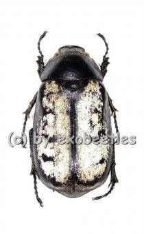 Lepidoderma setifrons  ( 27 - 34 )