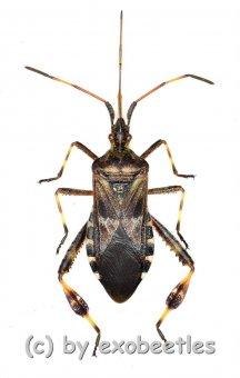 Leptoglossus occidentalis  ( 15 – 19 )