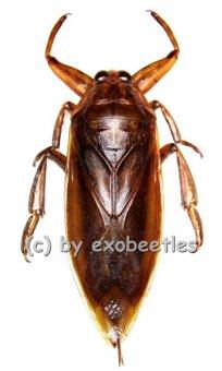 Lethocerus grandis  ( 70 – 84 )