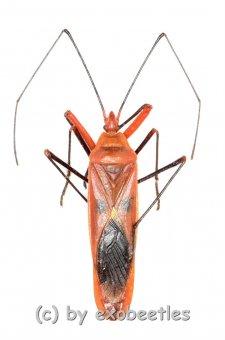 Lohita grandis  ( 30 – 39 )  A2