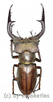 Lucanus formosus ( syno. L.cyclommatoides )  ( 45 - 49 )  A1-