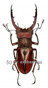 Lucanus luci ( new spec. 2011 )  ( 45 – 49 )