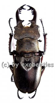 Lucanus maculifemoratus boileaui  ( 40 - 44 )
