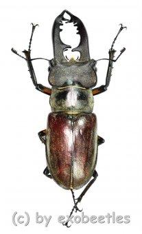 Lucanus maculifemoratus dybowskyi  ( 50 - 54 )