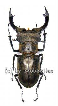Lucanus nobilis  ( 50 - 59 )  A1-
