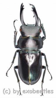 Macrodorcas ( Pogonodorcus ) bisignatus elsiledis ( Freak )  ( 31 )