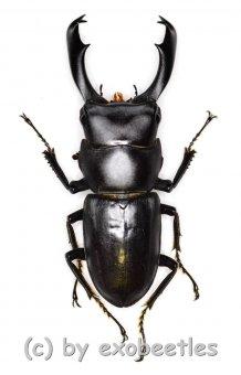 Macrodorcas ( Pogonodorcus ) fujiii  ( 35 - 39 )