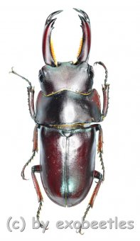 Macrodorcas ( Pogonodorcus ) melliana  ( 25 - 29 )