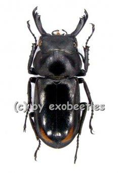 Macrodorcus bisignatus giselae  ( 20 - 24 )