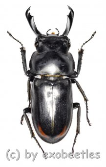 Macrodorcus ( Pogonodorcus ) bisignatus giselae  ( 30 – 34 )