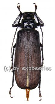 Macrotoma crenata  ( 40 - 44 )