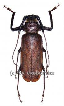 Macrotoma fisheri  ( 55 - 59 )