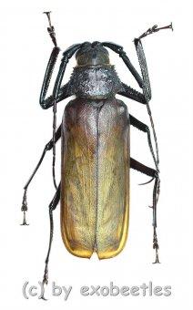 Macrotoma ( Bandar ) pascoei pascoei  ( 45 - 49 )