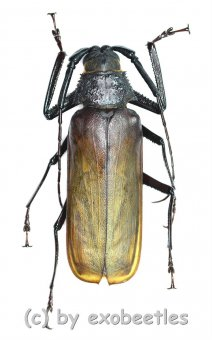Macrotoma ( Bandar ) pascoei pascoei  ( 50 - 54 )