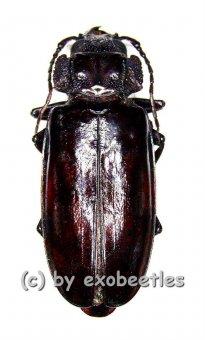 Mallodon spinibarbis  ( 45 - 54 )  A1-