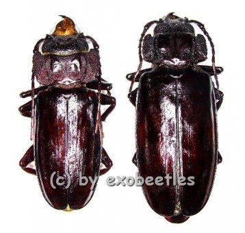 Mallodon spinibarbis  ( M 45 - 49 )