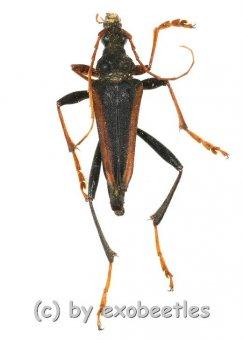 Mastododera lateralis  ( 20 - 29 )