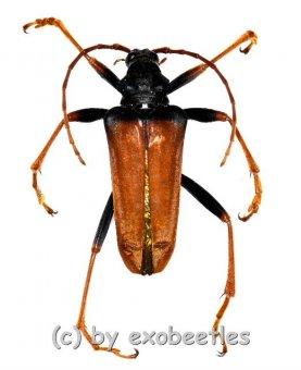 Mastododera nodicollis  ( 20 - 29 )  A2