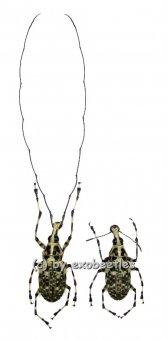 Mecocerus basalis