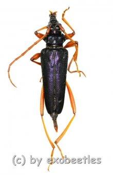 Mecosaspis atripennis  ( 25 - 29 )  A1-