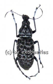 Mecotropis caelestis  ( 20 - 24 )  A1-