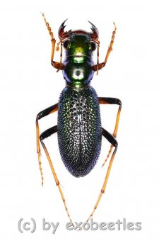 Megacephala regalis  A2