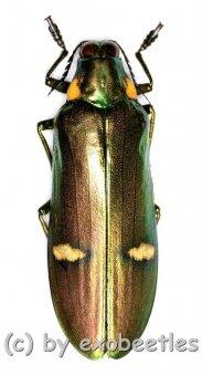 Megaloxantha bicolor othanii  ( 55 – 59 )