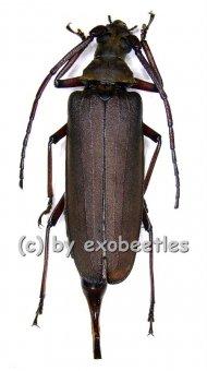 Megopis sinica  ( 40 – 44 )  A1-