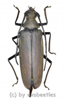 Megopis sinica  ( 45 – 49 )