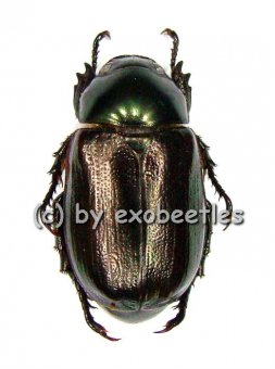 Melolonthidae spec. #10  A2