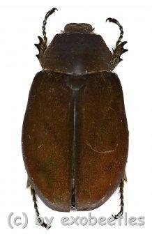 Melolonthidae spec. #17  ( 30 - 34 )