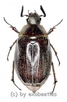 Melolonthidae spec. #18  ( 20 – 24 )  A1-
