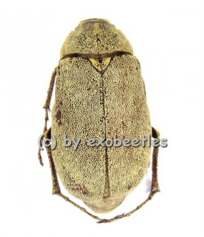 Melolonthidae spec. #2  A2