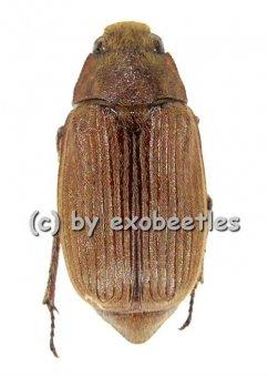 Melolonthidae spec. #3