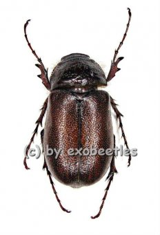 Melolonthidae spec. #7