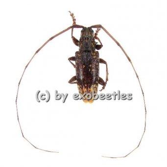Myargus vinosus  ( 10 - 14 )