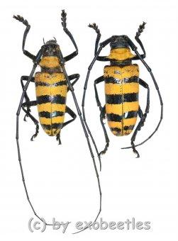 Nemophas grayi  ( M 35 - 39 )  A1-