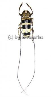 Nemophas subcylindricus  ( 30 - 34 )  A2