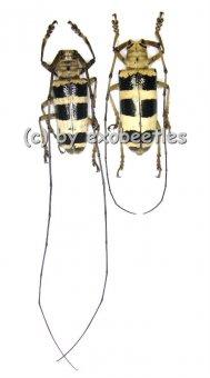 Nemophas subcylindricus  ( M 35 - 39 )