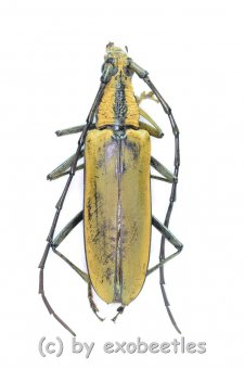 Neocerambyx pascoei  ( 45 - 49 )