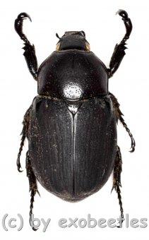 Neohyphus semivelutinus celebesus ( sehr selten )  ( 25 - 29 )
