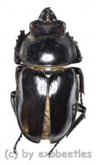 Neolucanus brevis ssp.brevis  ( 25 - 29 )