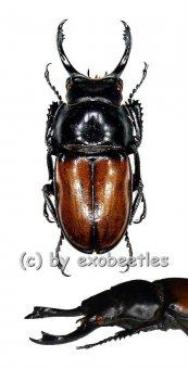 Neolucanus brochieri  ( 35 - 39 )