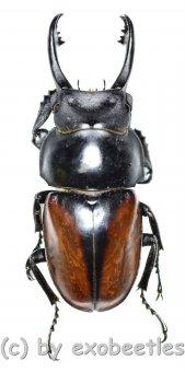 Neolucanus delicatus ( teledonte )  ( 45 - 49 )